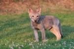 Als die kleine Wölfin gefunden wurde, war sie fast verhungert. Im Wildpark hat sie ordentlich zugelegt und jetzt Normalgewicht. Text und Fotos: Tanja Askani