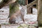"""Luchsdame """"Olsa"""" wurde im Wildpark auf eine Wilddiät gesetzt, um ihr die Eingewöhnung in ihr neues Zuhause zu erleichtern. Foto: Wildpark/Thomas Ix"""