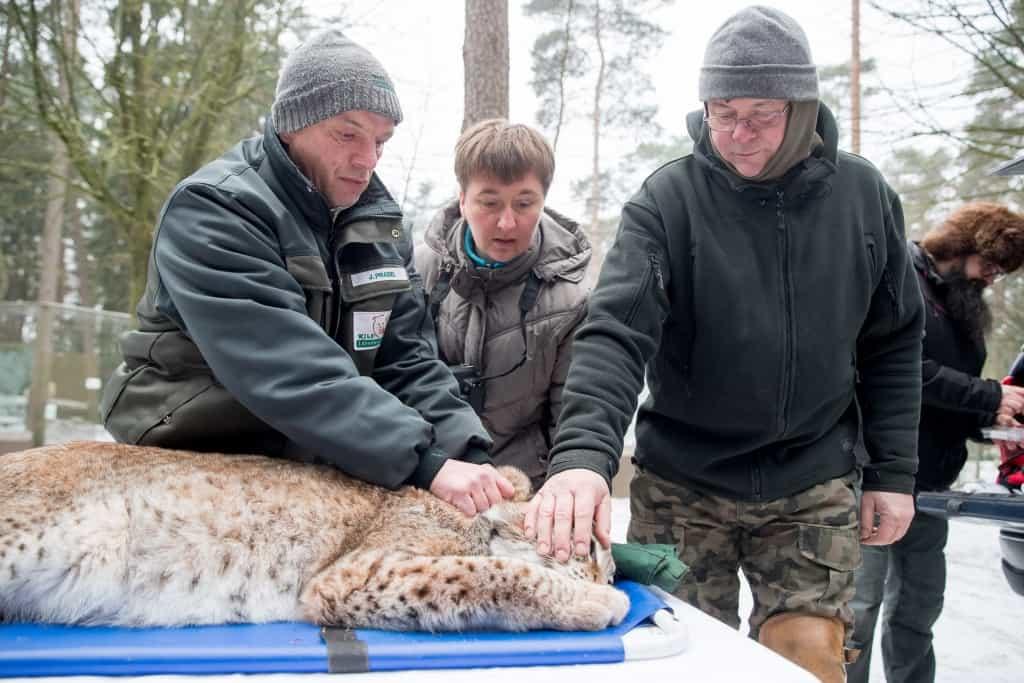 Der polnische Projektleiter des Wiederauswilderungsprogramms Maciej Tracz (rechts) und Wildpark-Tierpfleger Jens Pradel  begutachten die betäubte Luchsdame.  Foto: Wildpark/Thomas Ix