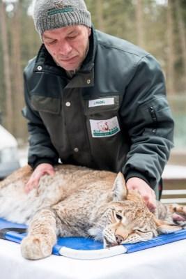 """Tierpfleger Jens Pradel überwacht Herztöne, Atmung und die  Reaktionen von """"Olsa"""" während der unvermeidlichen Betäubung.  Foto: Wildpark/Thomas Ix"""