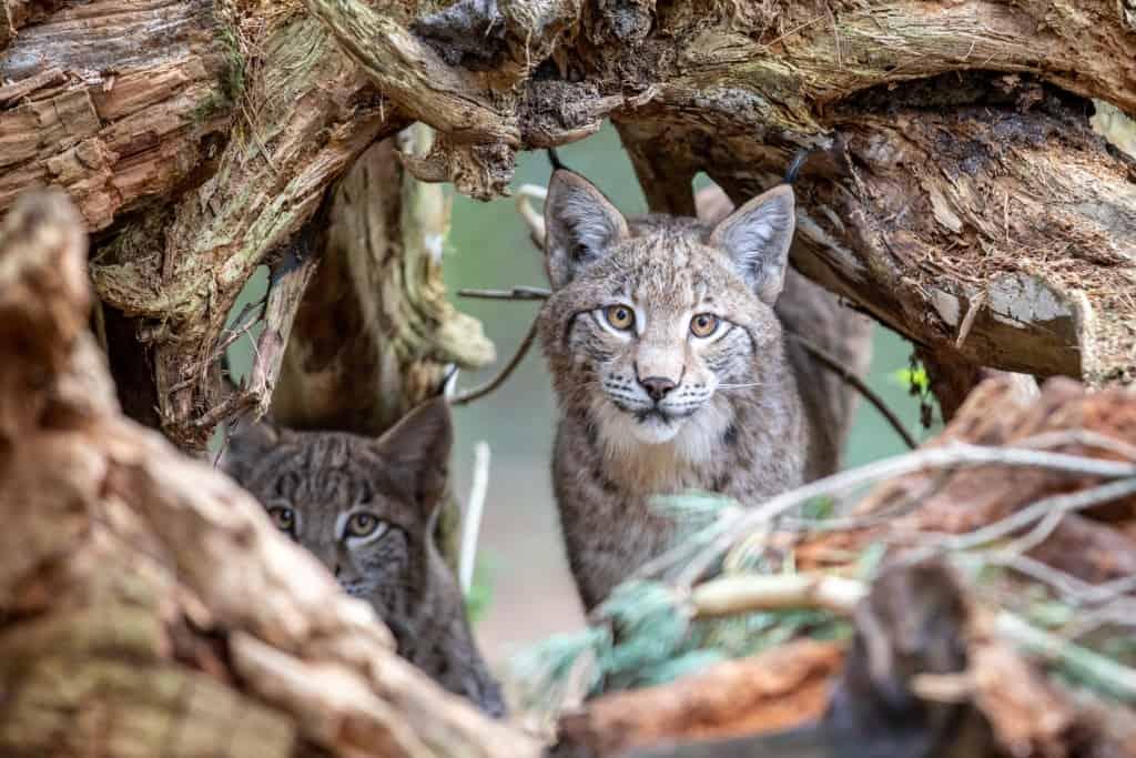 """""""Olsa"""" und ihr Begleiter als Jungtiere im Wildpark Lüneburger Heide. Foto: Wildpark/Adrian Fohl"""