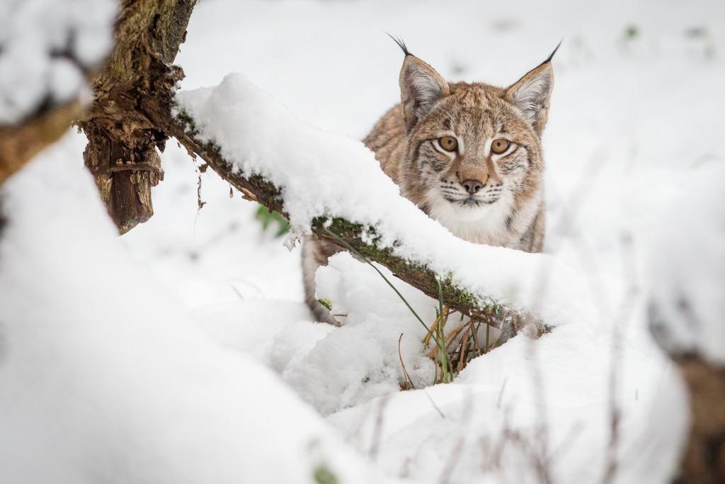 Mit ihrem dichten Fell sind Luchse gegen winterliche Temperaturen bestens gewappnet. Foto: Wildpark/Thomas Ix