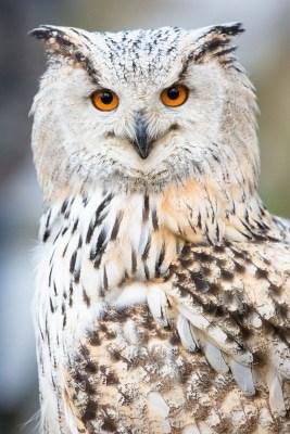 """Uhus und Eulen sind die Stars bei der Greifvogelvorführung """"Jäger der Nacht"""", die am 20.Juli bei der """"Wildpark Sommernacht"""" steigt. Foto: Thomas Ix"""