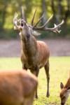 Die Hirschbrunft ist ein spektakuläres Naturschauspiel. Im Wildpark finden dazu kostenlose Führungen statt. Foto: Wildpark/Thomas Ix