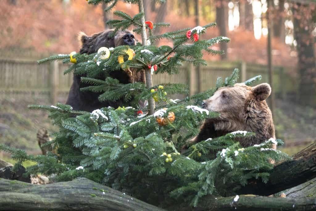 Neugierig, aber ganz behutsam begutachten Susi (rechts) und Teddy die weihnachtliche Überraschung zum Frühstück. Text & Fotos: Wildpark / Thomas Ix