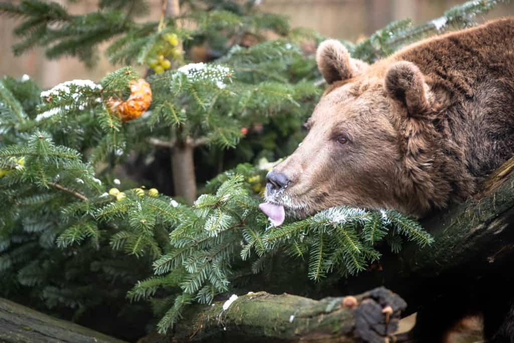Genüsslich schlabbert und schleckt Bärendame Susi die leckere Schlagsahne von den Zweigen. Text & Fotos: Wildpark / Thomas Ix