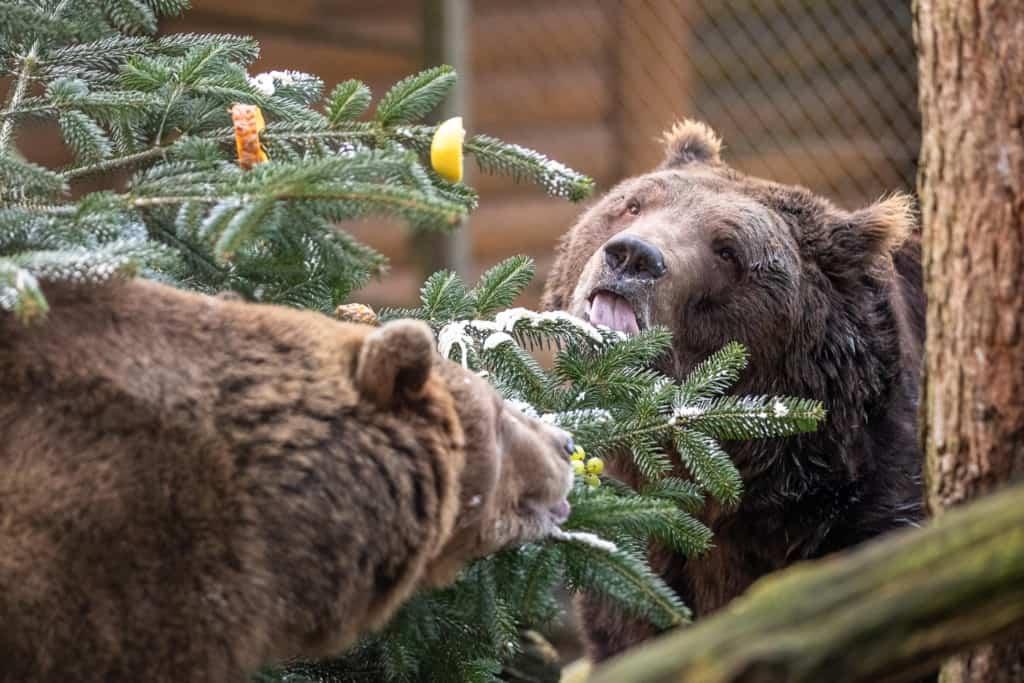 Auch Teddy lässt sich nicht zweimal bitten und macht sich über die Sahne her. Text & Fotos: Wildpark / Thomas Ix