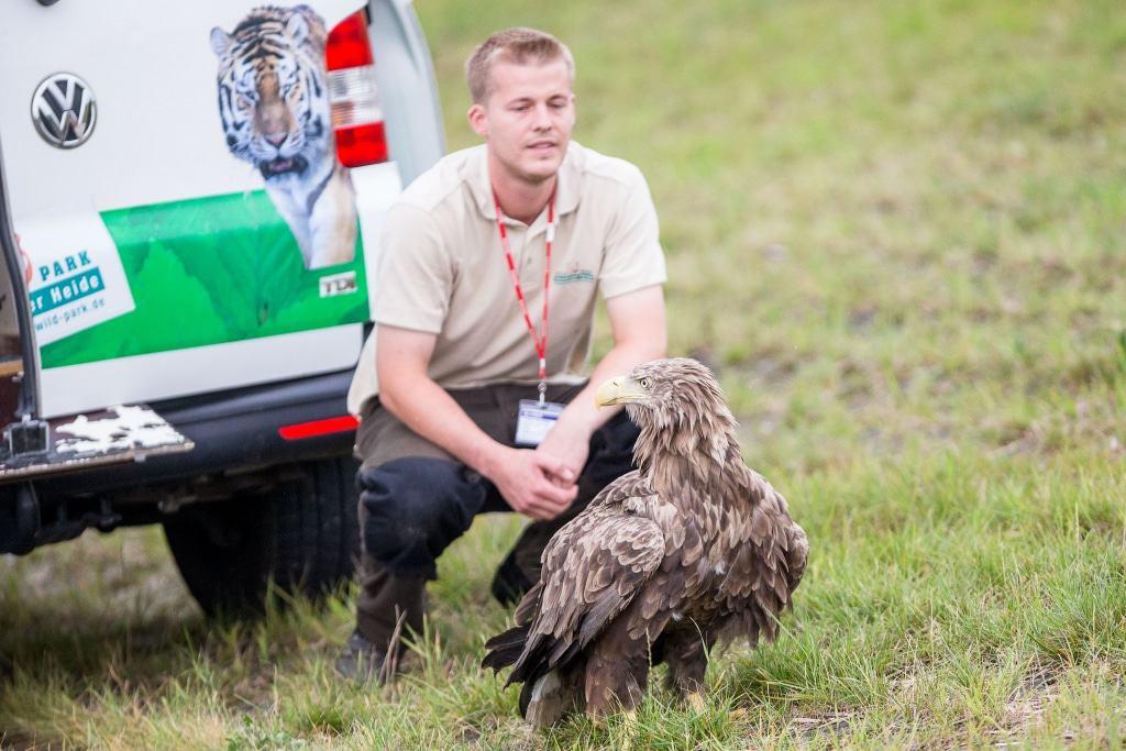 Das Seeadler Weibchen muss erst die Lage abchecken… Text & Fotos: Wildpark/Thomas Ix