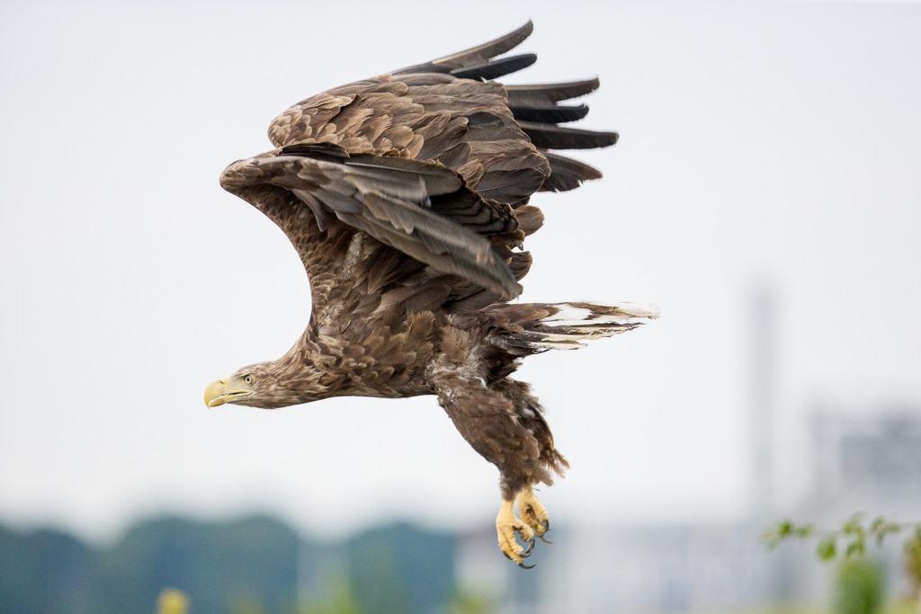 … um sich dann mit zwei, drei kräftigen Flügelschlägen in die Luft zu erheben… Text & Fotos: Wildpark/Thomas Ix
