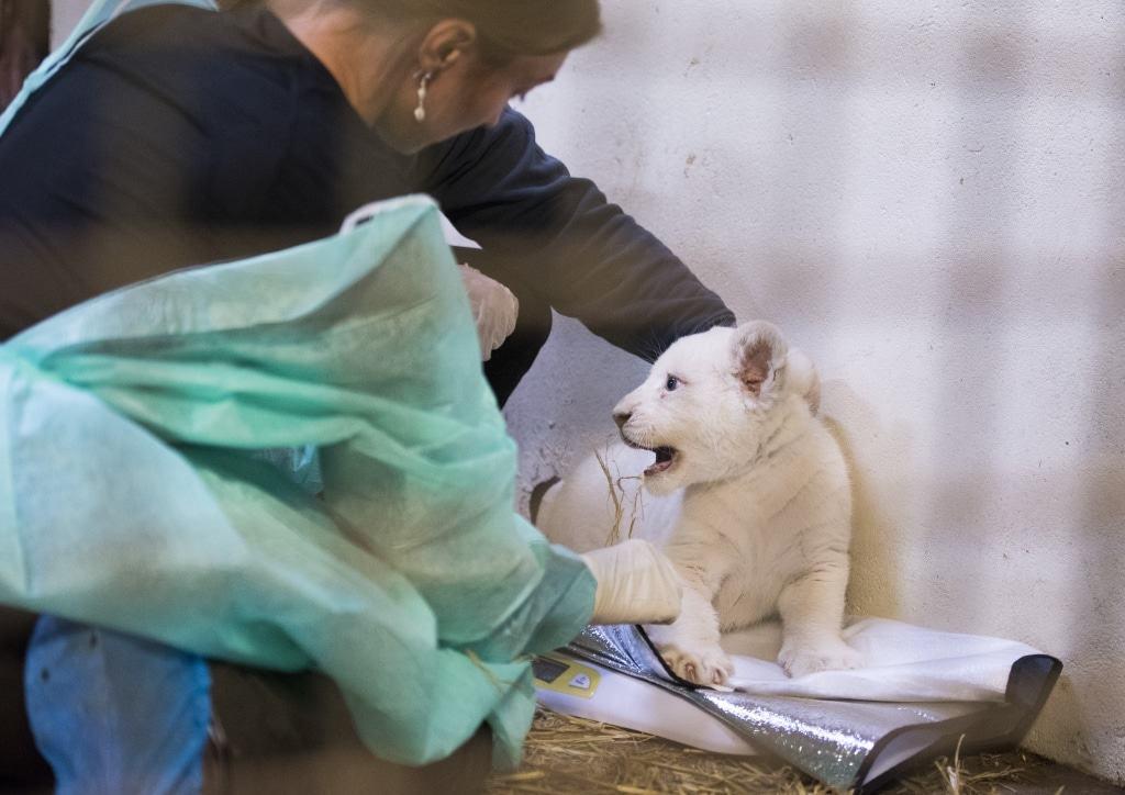 Die zwei Monate alten Löwenbabies werden untersucht, gewogen und geimpft. Foto: Serengeti-Park Hodenhagen
