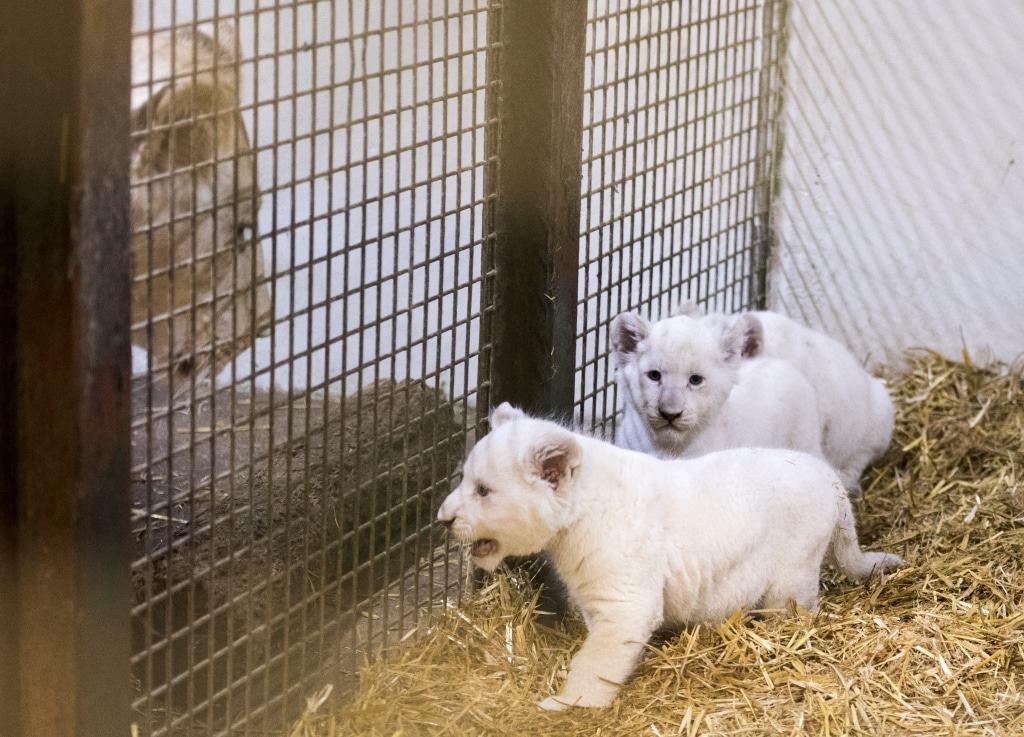 Die drei Weißen Löwenmännchen haben die Namen Taio (geboren zum glücklich sein), Mojo (der Glücksbringer) und Amari (der Starke). Foto: Serengeti-Park Hodenhagen