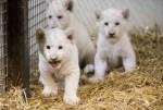 Gesund, munter und sehr gut entwickelt: Die drei Weißen Löwenjungen, die Ende September geboren wurden. Foto: Serengeti-Park Hodenhagen