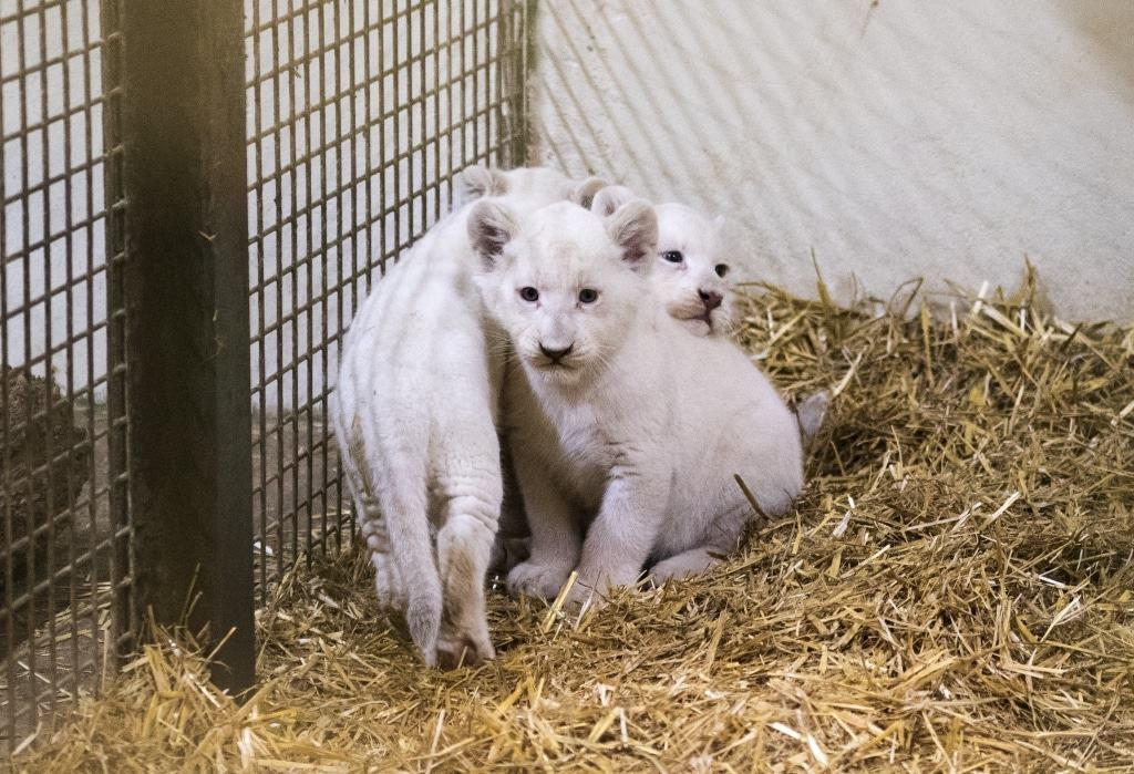 Die drei kleinen Weißen Löwen sind zwei Monate alt und wiegen zwischen 6,5 und 7 Kilogramm. Foto: Serengeti-Park Hodenhagen