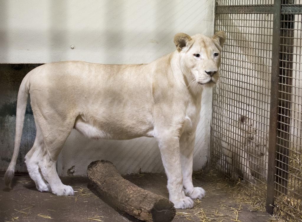 Während der Untersuchung beobachtet Löwenmutter Bella das Geschehen aus der benachbarten Box. Foto: Serengeti-Park Hodenhagen