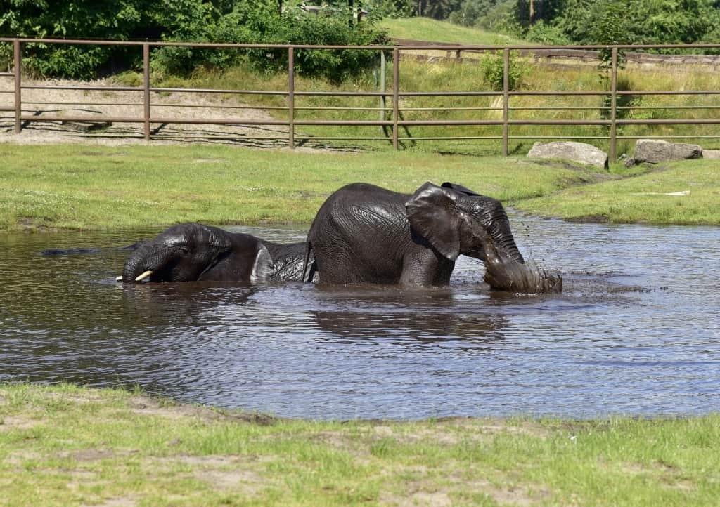 Junge Elefanten nehmen ein Bad im Wasserteich, Foto: Serengeti-Park Hodenhagen