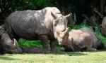 Breitmaulnashorn Doris (M.) am 28.06.2019 im Serengeti-Park Hodenhagen Quelle: Serengeti-Park, Hodenhagen