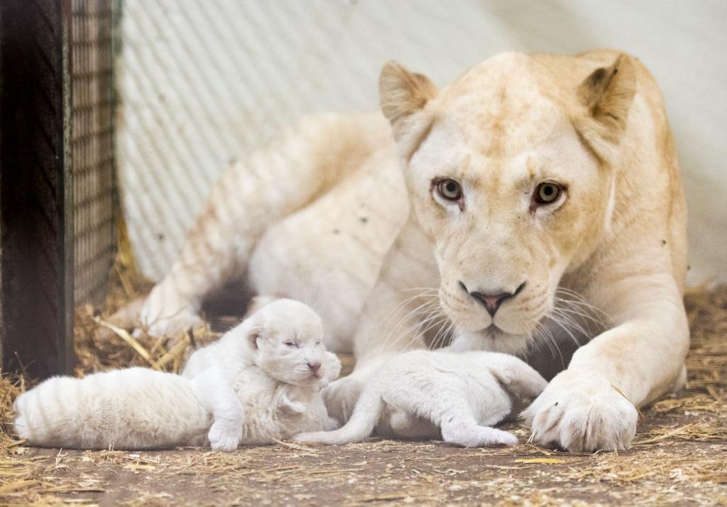 Am 23.09.2016 sind die Weißen Löwenbabys im Serengeti-Park geboren. Quelle: Serengeti-Park Hodenhagen