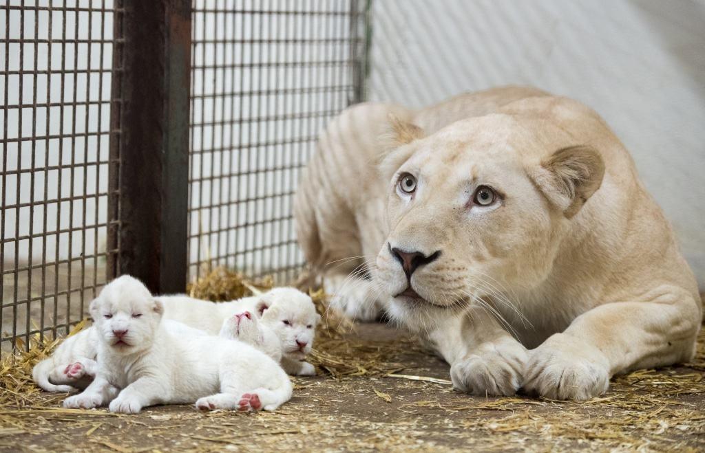 Die Drillinge sind der erste Wurf der dreijährigen Löwin Bella. Quelle: Serengeti-Park Hodenhagen