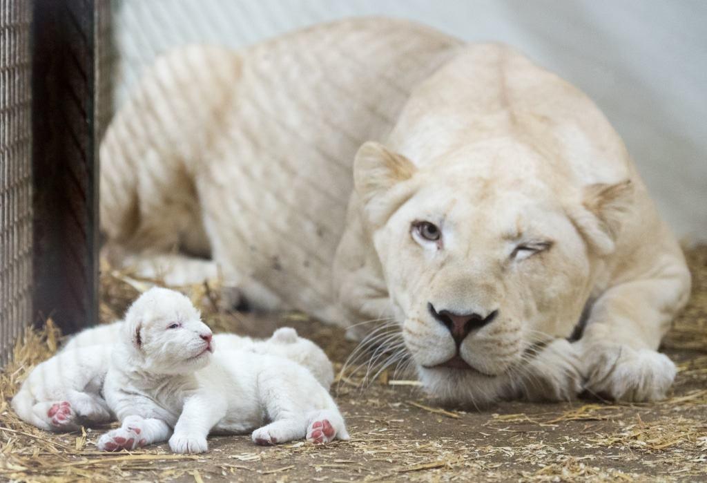 Frisch geborene Löwenbabies sind knapp 50 cm groß und wiegen etwa 1,5 kg. Quelle: Serengeti-Park Hodenhagen