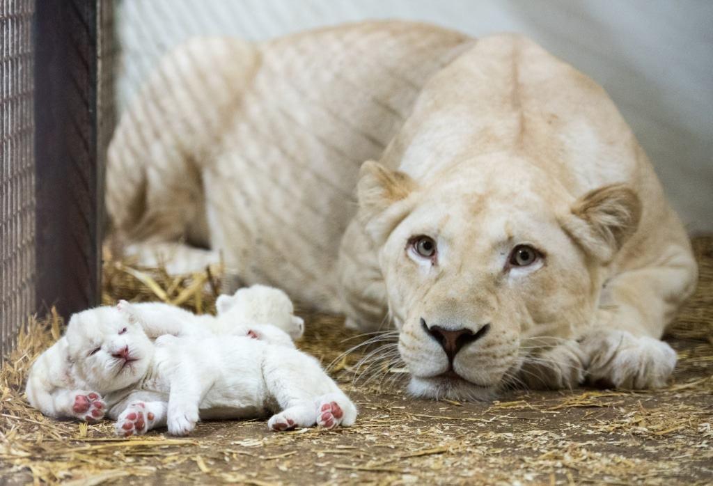 Jetzt leben neun Weiße Löwen im Serengeti-Park. Quelle: Serengeti-Park Hodenhagen
