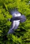 Andenkondor Foto: Weltvogelpark Walsrode