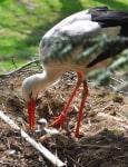 Storchenküken Foto: Weltvogelpark Walsrode