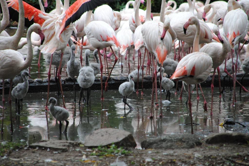 60 Küken wurden 2018 bei den Flamingos geboren. Foto: Weltvogelpark Walsrode