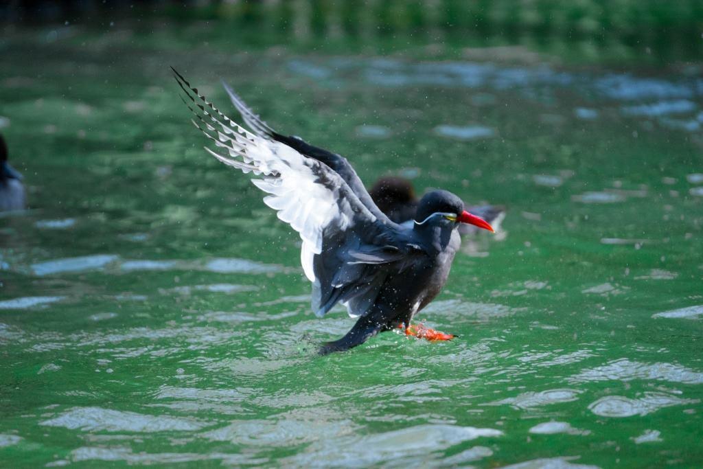 Auch Inkaseeschwalben mögen die Abkühlung im Wasser. Foto: Weltvogelpark Walsrode