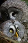 Bartkäuze Foto: Weltvogelpark Walsrode