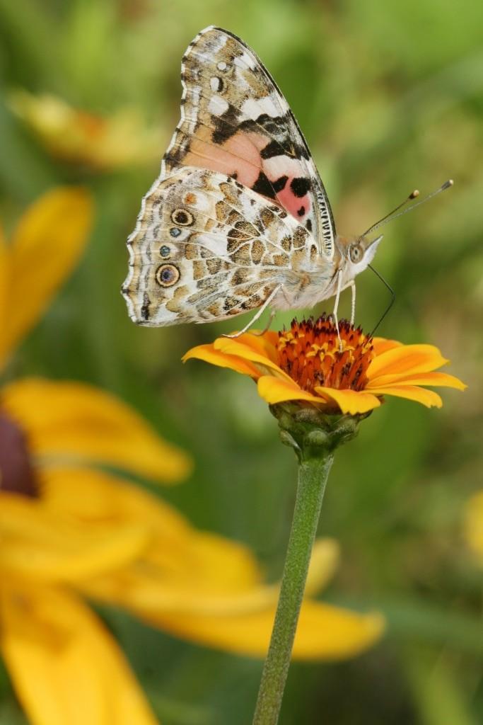 Distelfalter an Garten-Zinnie Copyright: NABU/Helge May