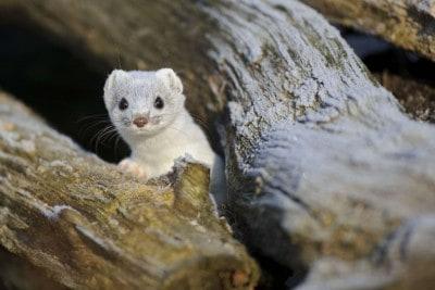 Hermelin im weißen Winterfell, Foto: Willi Rolfes / Otterzentrum
