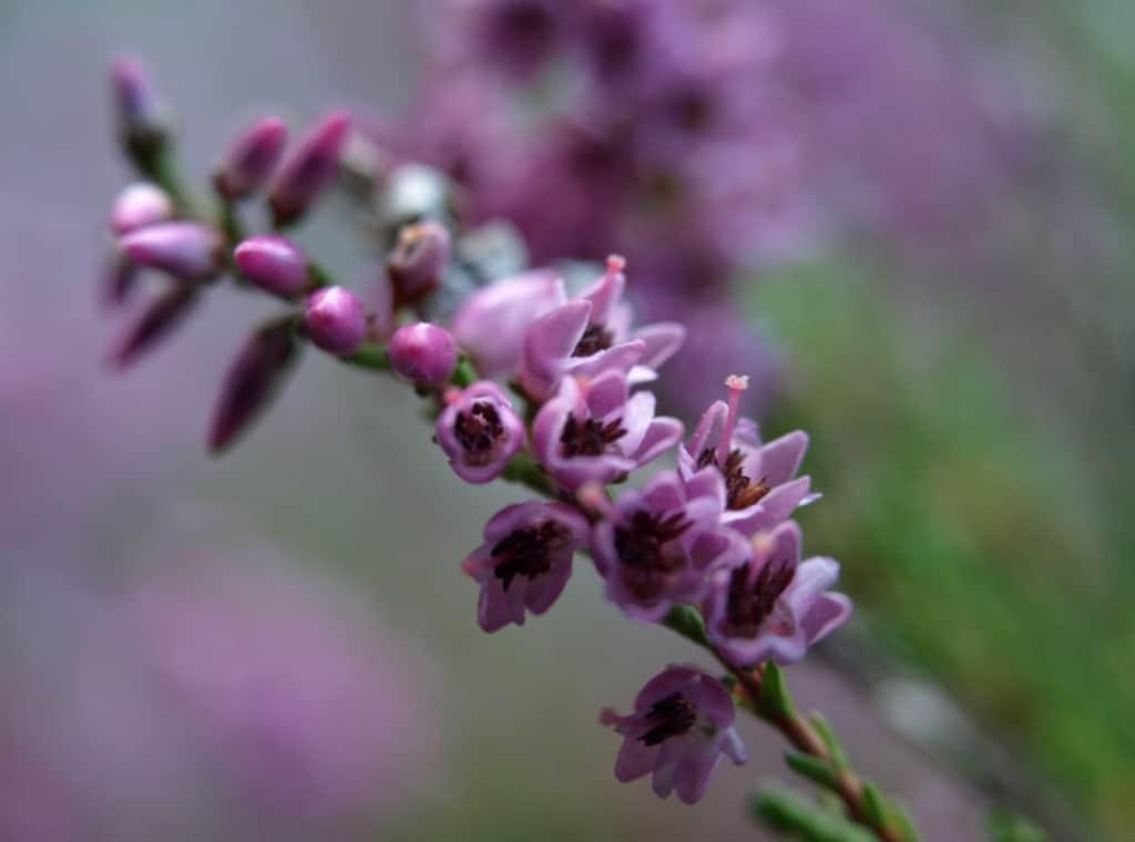 Blühendes Heidekraut - Großaufnahme