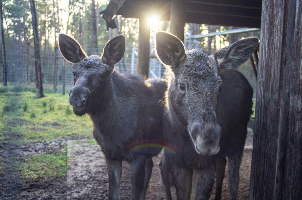 Die beiden Elchmädchen Foto: Wildpark Müden