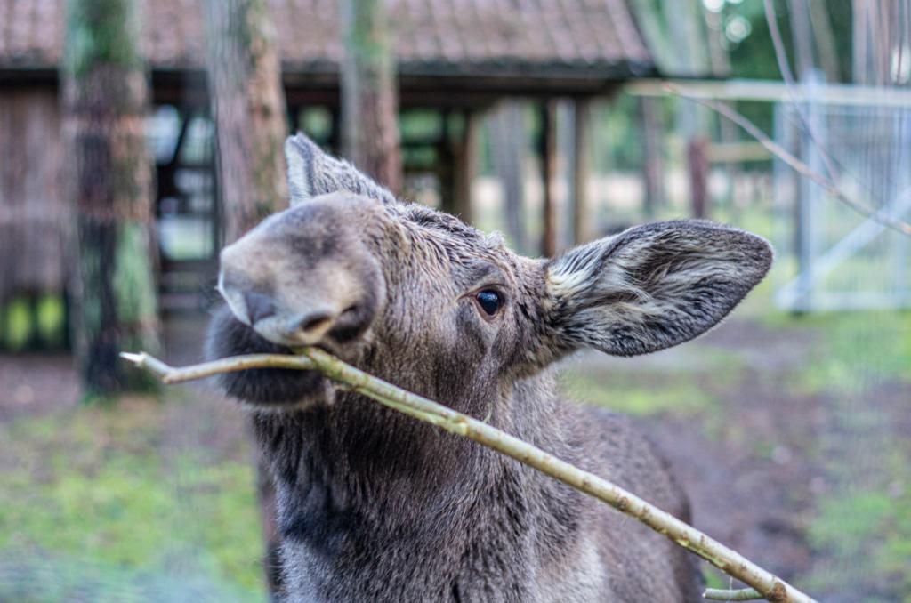 Elchkuh - Foto: Wildpark Müden
