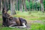 Liegender Elch Foto: Wildpark Müden