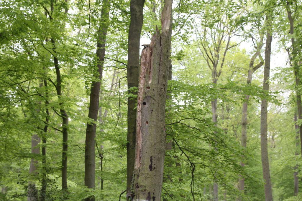 Stehendes Totholz bietet vielfältigen Lebensraum. Spechte betreiben durch ihren Höhlenbau eine Art sozialen Wohnungsbau. Foto: Niedersächsische Landesforsten