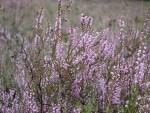Blühendes Heidkraut (Calluna vulgaris)
