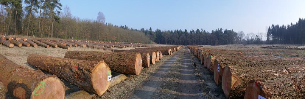 Hochwertige Douglasien, Lärchen und Kiefern auf dem Lagerplatz im Forstamt Oerrel bei Munster.  (Fotos: Niedersächsische Landesforsten)
