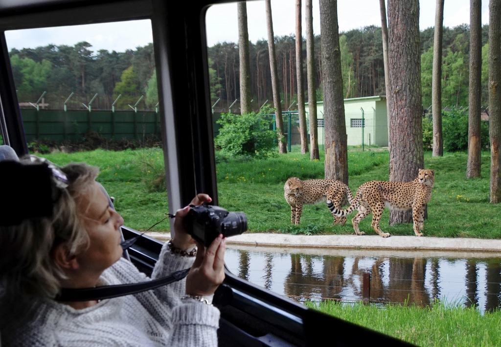 Beobachten Sie bei der Elite-Safari die Fütterung der Geparden! Foto: Serengeti-Park