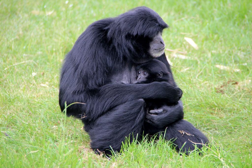 Siamang-Baby Foto: Serengeti-Park Hodenhagen