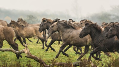 Wildpferdeherde, Foto: Marc Lubetzki