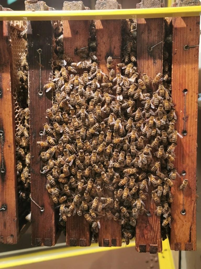 Honig-Matriarchat – Im Bienenstock dreht sich alles um die Königin Foto: Weltvogelpark Walsrode