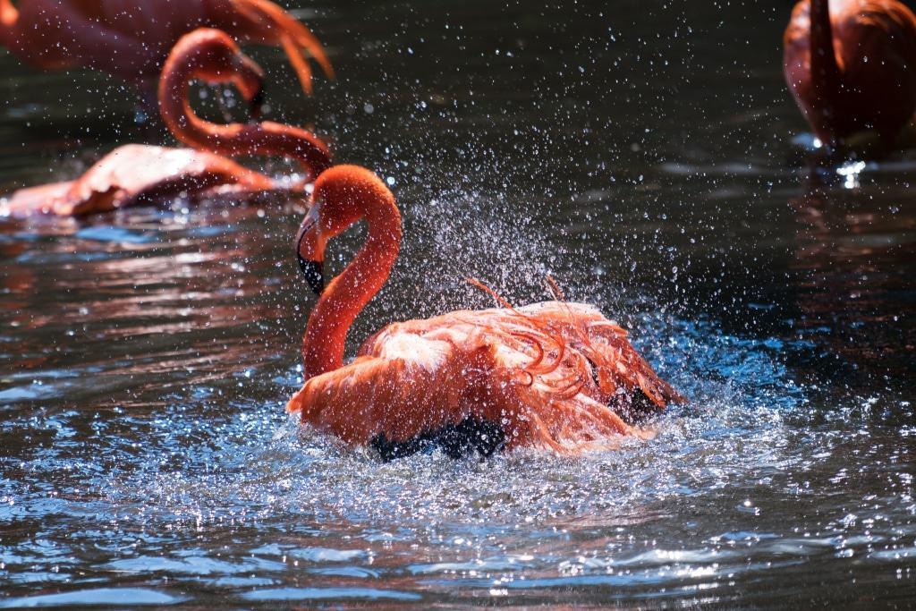 Auch Kubaflamingos genießen ein kühles Bad. Foto: Weltvogelpark Walsrode