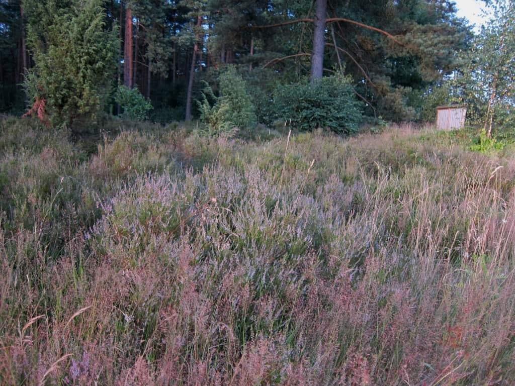 In der Schwindebecker Heide zwischen Schwindebeck und Bispingen-Steinbeck.