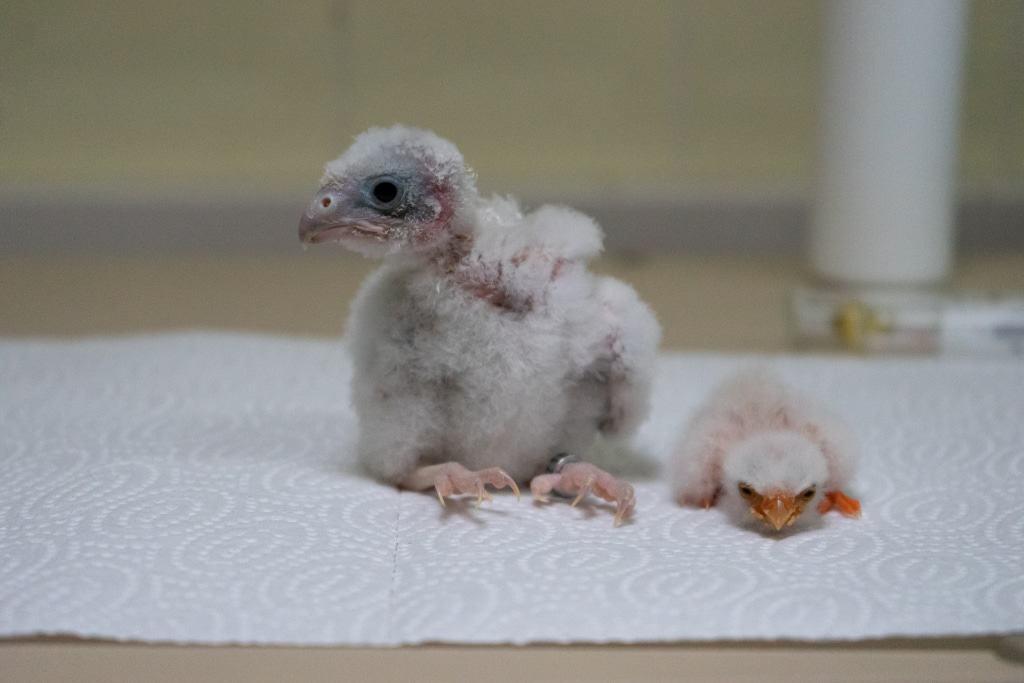Küken von Rötelfalke und Zwergfalke Foto: Weltvogelpark Walsrode
