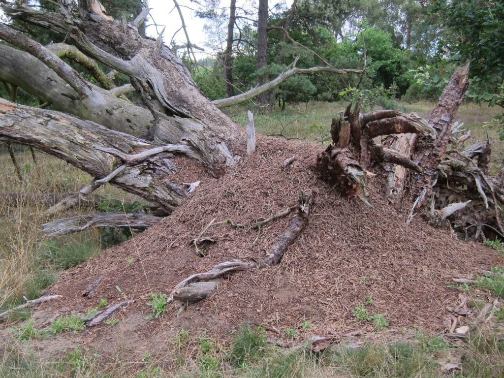 Abgestorbener Baum mit Ameisenhügel