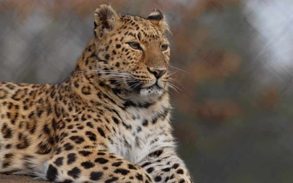 Amur-Leopard, Foto: Serengeti-Park Hodenhagen 2007