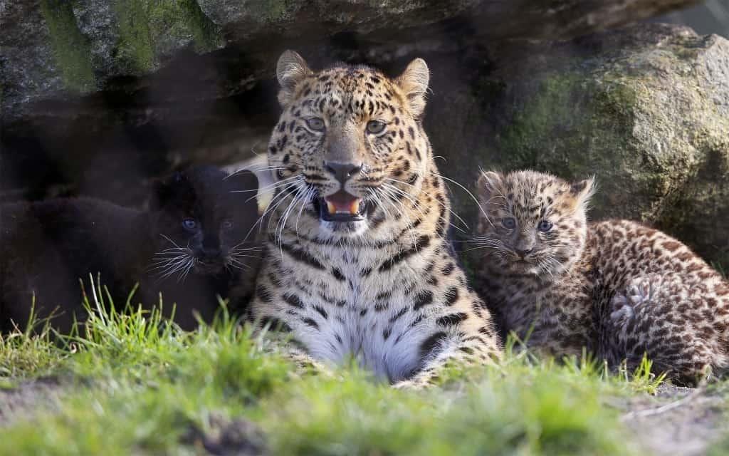Amur-Leopard im Freigelände des Serengeti-Park mit Jungen (2014), Foto: Serengeti-Park Hodenhagen