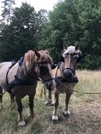 Wiesenpflege mit zwei Pferdestärken: Das Forstamt Sellhorn setzt Pferde für den Naturschutz ein