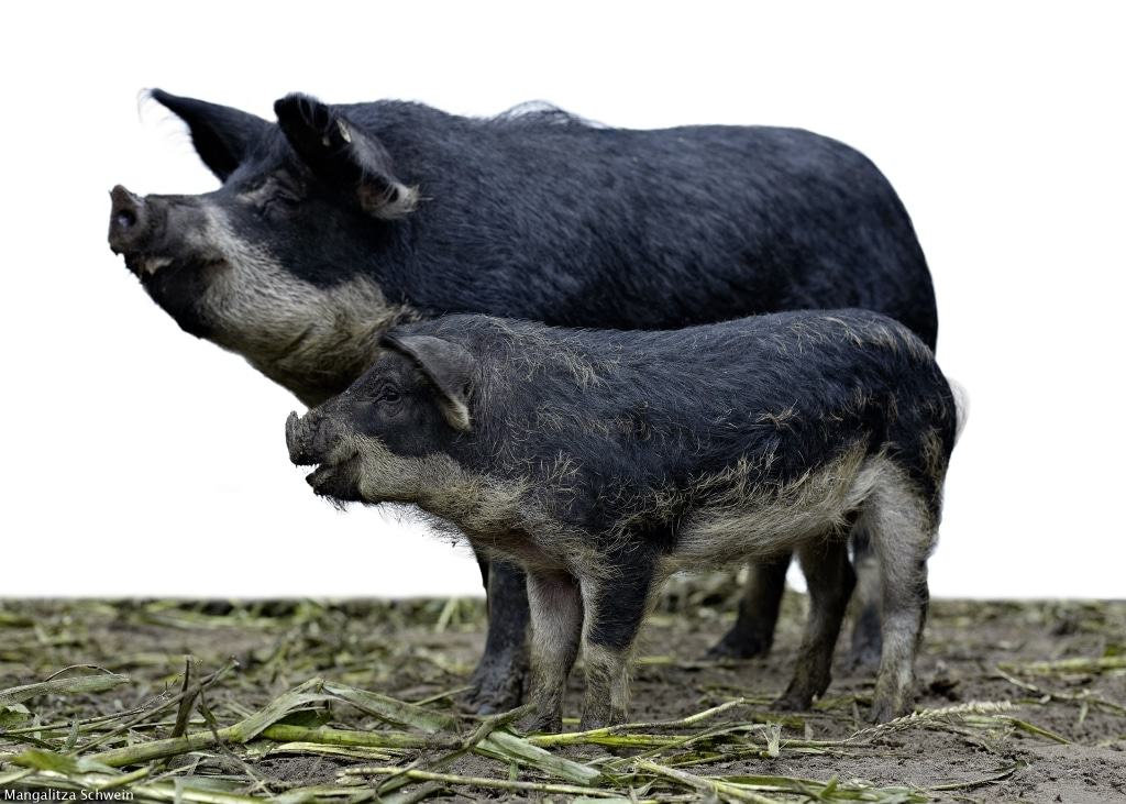 Mangalitza-Schwein Foto: Andreas-Michael Velten, Berln